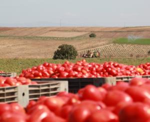 foto categorie Tomaten